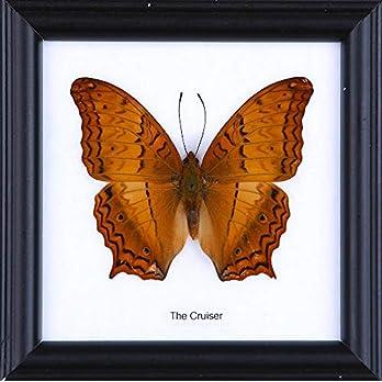 The Cruiser Butterfly (Vindula dejone) | Schmetterlinge Entomologie Taxidermie Innendekoration | 12 x 12 cm