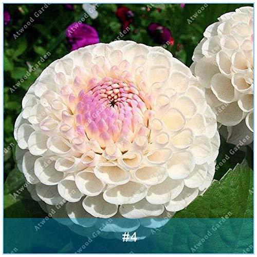 Galleria fotografica Fash Lady ZLKING 2 pz Dahlia Bulbi Fiore Raro Bella Perenne Fiore Bulbi di Bonsai Pianta Da Sposa Giardino Domestico di Casa: 4