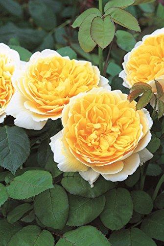 Charlottes Garten (Englische Rose Charlotte wurzelnackt)