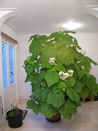 Zimmerlinde 40 cm +/- Sparmannia africana