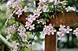 Clematis montana - Mayleen - kleine rosa Blüten - 60-70cm 1,5ltr.