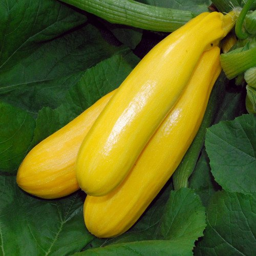Zucchini Gold Seeds