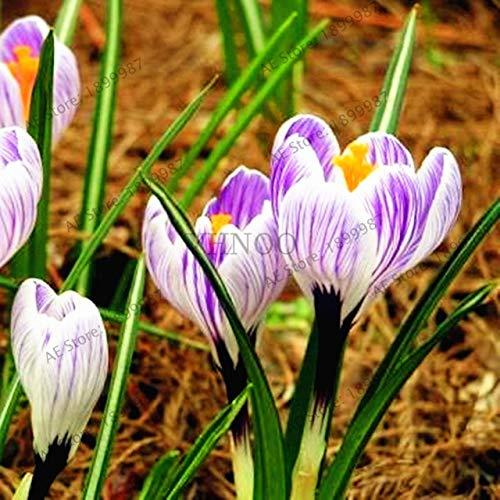 fash lady 100 pz/borsa colori misti, piante zafferano bonsai giardino fiori pianta giardino domestico fai da te, facile da coltivare: 4
