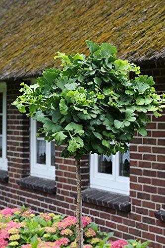 Ginkgo-Stämmchen Marieken®, 1 Pflanze