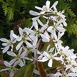 Felsenbirne alnifolia Smokey 5 L Co.