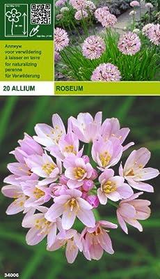 Allium roseum (20) von Mosselman bei Du und dein Garten