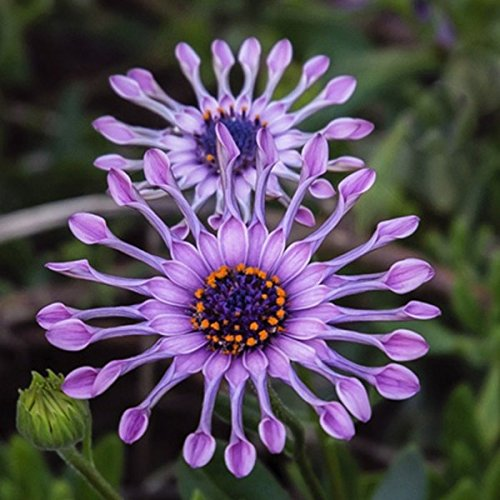 Buckdirect Worldwide ltd. 50pcs Garten Osteospermum Kreisel Seeds Jahres Gaillardia Aristata Pflanzen