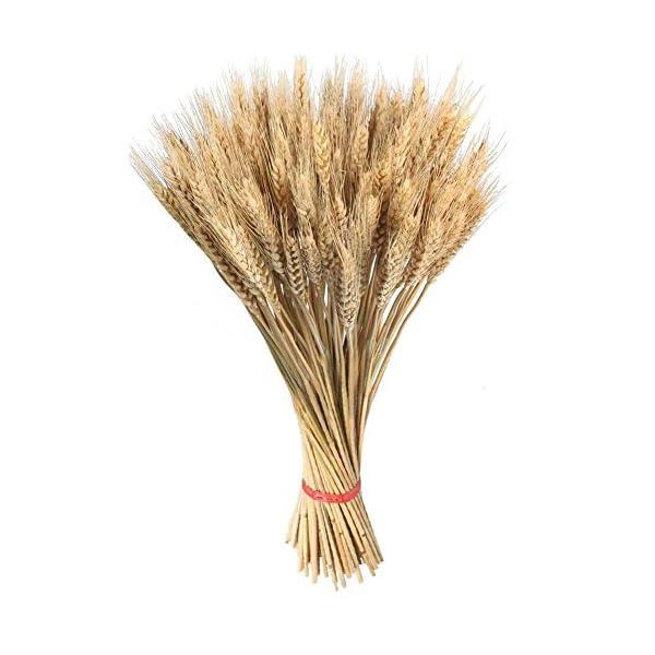 Zexo Decoración del Ramo del oído del Trigo 100pcs, Plantas de jardín, Orejas Naturales del Trigo del Color primario…