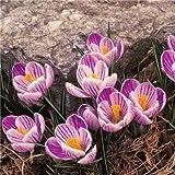 Pinkdose Heißer Verkauf viele Sorten Safran Zwiebeln Safran Blume Safran Krokus für Hausgarten: 4