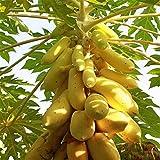 Rowentauk 20 Stücke Papaya Samen Tropische Frucht Baum Samen Pflanzen Organische Süße Papaya Samen Hausgarten Zierpflanzen im Freien