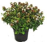 Abelia grandiflora 'Land Ladies`' Abelie - winterharter, wintergrüner, blühender Strauch 19 cm Topf Kübelpflanze - Beetpflanze