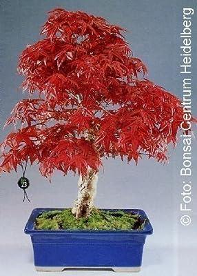 Tropica - Bonsai - Roter Fächerahorn (Acer palmatum atropurpureum) - 20 Samen von Tropica auf Du und dein Garten