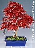 Tropica - bonsái - arce rojo japonés (Arce palmatum atropurpureum) - 20 semillas