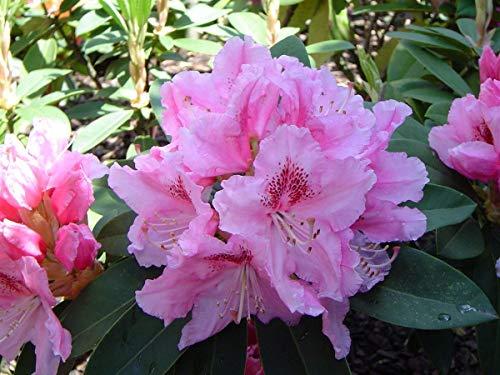 SANHOC Samen-Paket: Rhododendron hybrida Bernstein - Rhododendron - in 9cm PotSEED