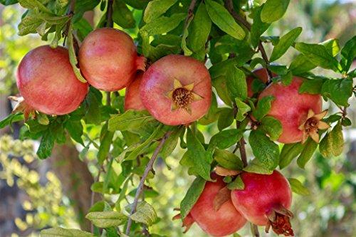 Pianta vera da frutto ALBERO DI MELOGRANO TURCO 'HICAZ' h 150 cm