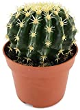 Echinocactus grusonii v. intermedius - der kurzdornige Kugelkaktus ist eine beliebte Zimmerpflanze -malerischen Sukkulente - Schwiegermuttersessel