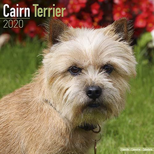 CAIRN TERRIER Calendario de Pared Cuadrado Dog 2020 (30 cm x 30 cm) Nuevo y  Sellado por Avonside Calendars