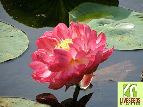 liveseeds-bonsai-lotus-lotus-pond-schssel-flower-water-lily-lotus-rot-5-samen
