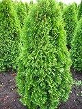 Solitär Smaragd Lebensbaum Thuja occidentalis Smaragd 100-125 cm hoch im 12 Liter Pflanzcontainer