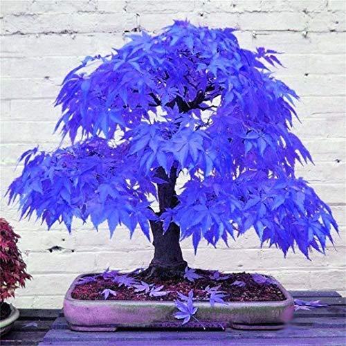 Xianjia Garten - Selten Japanischer Ahorn Samen Fächerahorn Bonsai Saatgut winterhart mehrjährig Ahorn Zierpflanze - Baum & Bonsai/Zimmer/Garten (2)