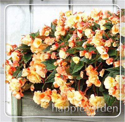 pinkdose 20 pz begonia pianta bonsai fiore pianta fai da te decorazione del giardino begonie bonsai in vaso facile da coltivare albero nana piante da appartamento: 10