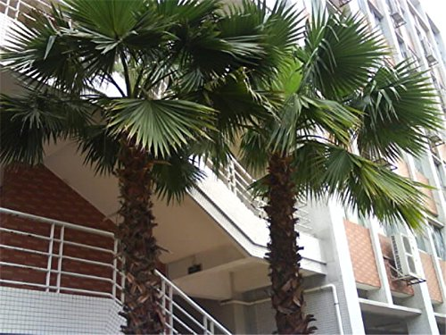 Echt Chinesisch Wörterbuch Baumsamen Indoor-Bonsai Washingtonia filifera Außenblattpflanzen countryard Sementes