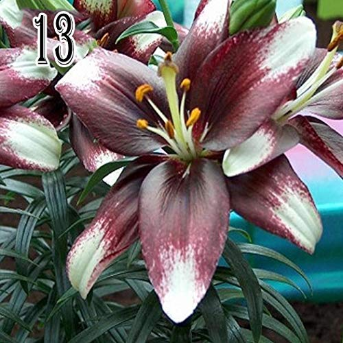 Cioler 50pcs Lilien Samen Lilium Samen Bonsai Pflanzen Samen Blumensamen Saatgut mehrjährig winterhart Hybride Lilien Pflanzen