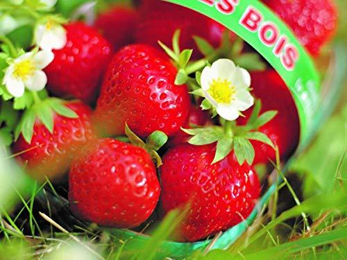 Erdbeerprofi - Erdbeere Mara de Bois - 20 Erdbeerpflanzen/Erdbeersetzlinge - gut durchwurzelt, immertragend- Pflanzzeit: August - September; Ernte: Juni-Oktober