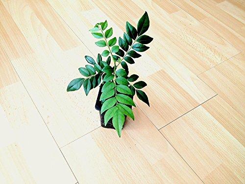 Curry Leaf Baum (Bergera koenigii L.) * Pflanze * 10cm groß.