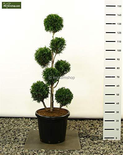 Lebensbaum Formschnitt - Thuja plicata `Martin´ - verschiedene Größen (125-150cm - Topf Ø 34cm - MULTIKUGEL)
