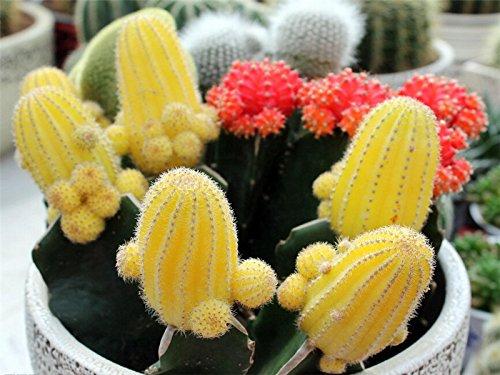 Mélange de graines de cactus, Echinopsis Graines de fleurs, Haute Germination - 20 Particules de semences