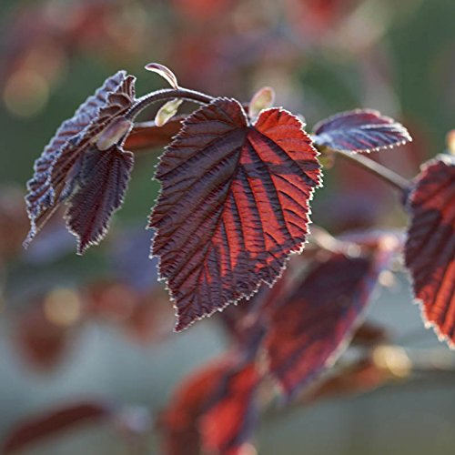 purple-hazelnut-bush-corylus-maxima-purpurea-in-a-3l-pot-80cm-tall