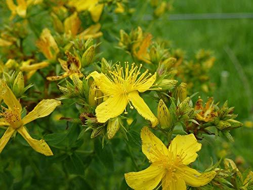 PLAT FIRM: Johanniskraut, groß, St, 700 Samen! Groco