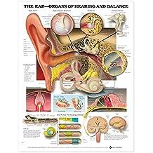 The Ear: Organs of Hearing and Balance Anatomical Chart