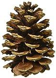 Ponderosa Pine Cones 8/Pkg-Natural