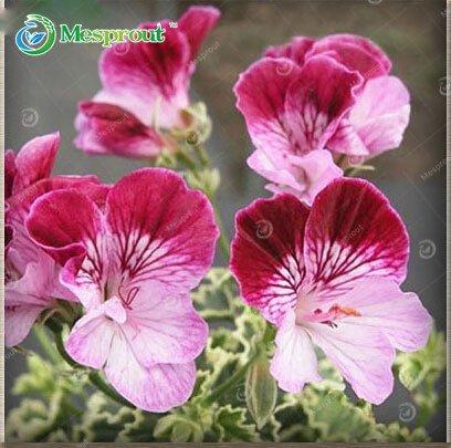 30pcs El/égant Graines Violet univalve G/éranium Vivace Graines de fleurs Pelargonium peltatum pour chambres dint/érieur # 3SZY1 Nouvelles Graines 2015