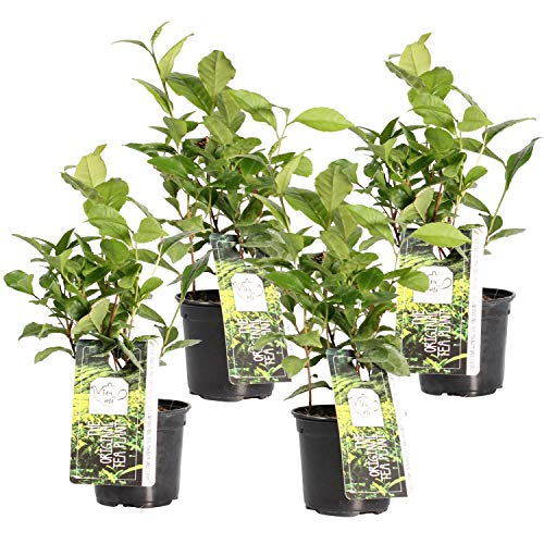 BOTANICLY | 4 × Herbs and Vegetable Plants - Tea Plant | Height: 30 cm | Camellia Sinensis