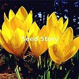 Shopmeeko Colchicum Sampler Pflanzen Colchicums Herbstblühende Bonsai Drei blühender Hausgarten Einfach zu wachsen Bodendecker 100 STÜCKE: Lila