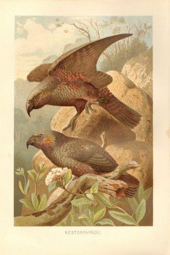 Nestorpapagei, Vögel . Lithografie von 1891