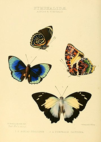 The Poster Corp W. Chapman Hewitson - Exotic Butterflies 1866 Agrias & Nymphalis Kunstdruck (45,72 x 60,96 cm)