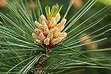 Weymouth Kiefer - Pinus strobus - 50-60cm im 3 Ltr. Topf