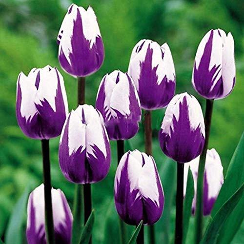 ZIXI Gartensaaten - 100 Stück Tulpenzwiebeln farbig Blumensamen SELTEN Bunte Blumenzwiebeln Hausgarten Zierblumen Tulpen Bonsai Blumen (G)