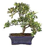 Bonsai - Azalea, 9 Años (Bonsai Sei - Rhododendron Indicum)