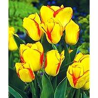 Tulipa Outbreak - Tulip Outbreak - 5 / Brote de Tulipa - Brote de tulipán - 5 bulbos