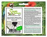 Stk - 6x Tacca chantrieri Schwarz Tiger Fledermausblume Teufelsblume Samen #250 - Seeds Plants Shop Samenbank Pfullingen Patrik Ipsa