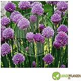 Semillas de hierbas - Cebollino / Allium millefolium - diferentes variedades(Middleman)