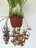 1 blühfähige Orchidee der Sorte: Gongora galeata, traumhafte Orchidee vom deutschen Züchter