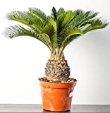 Japanese Sago Palm Tree Seeds - Ornamental Plant Seeds - 2 Seeds for Growing by Creative Farmer best price on Amazon @ Rs. 160