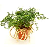 Tarantel-Farn, Spinnenfarn, Vogelspinnen-Farn, (Humata tyermannii) Zimmerpflanze, kräftige Pflanze im 12cm Topf