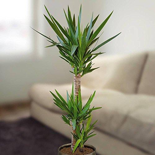 Yucca Palme - 1 pflanze